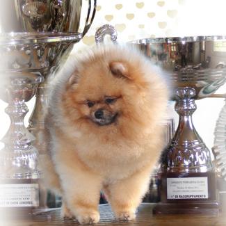 Multi CH Hillside Rendezvous Nobody Does It Better - Pomeranian All.to e prop. Hillside Rendezvous Kennel