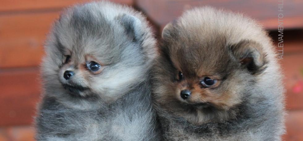 Spitz Tedesco Piccolo E Nano Pomeranian Spitz Forewer